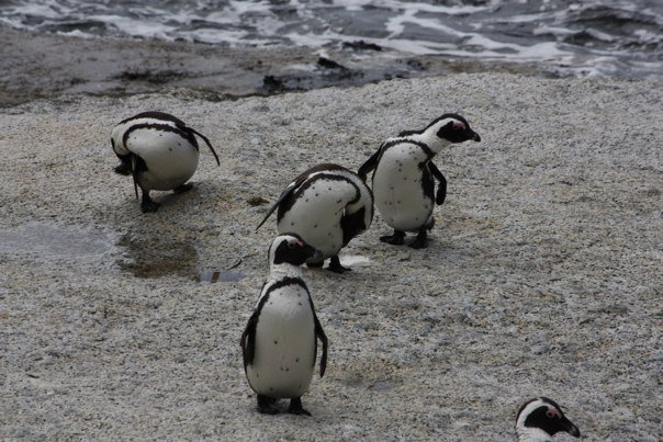 Cape Penguins South Africa