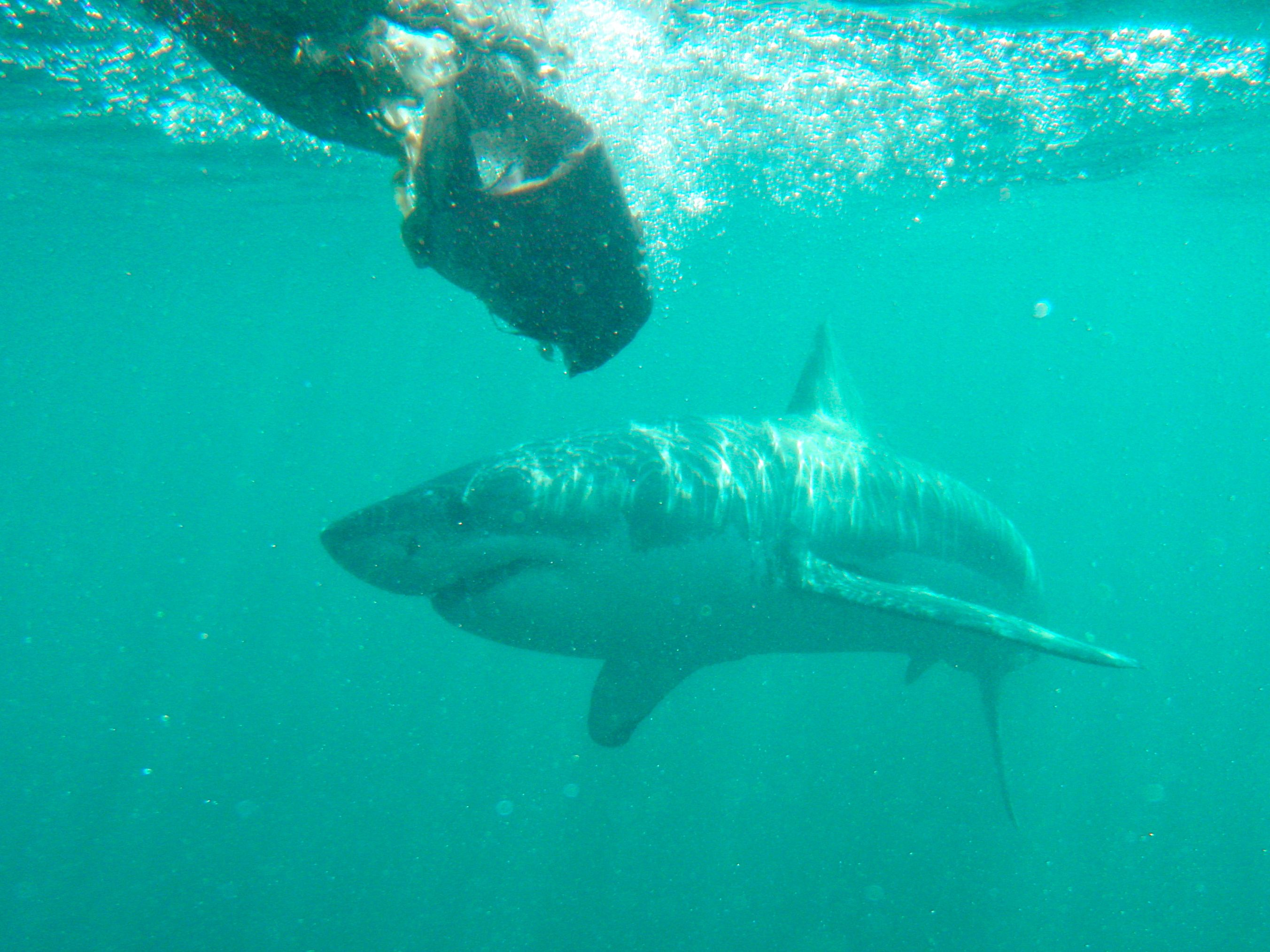 Shark Cage Diving Cape Town South Africa