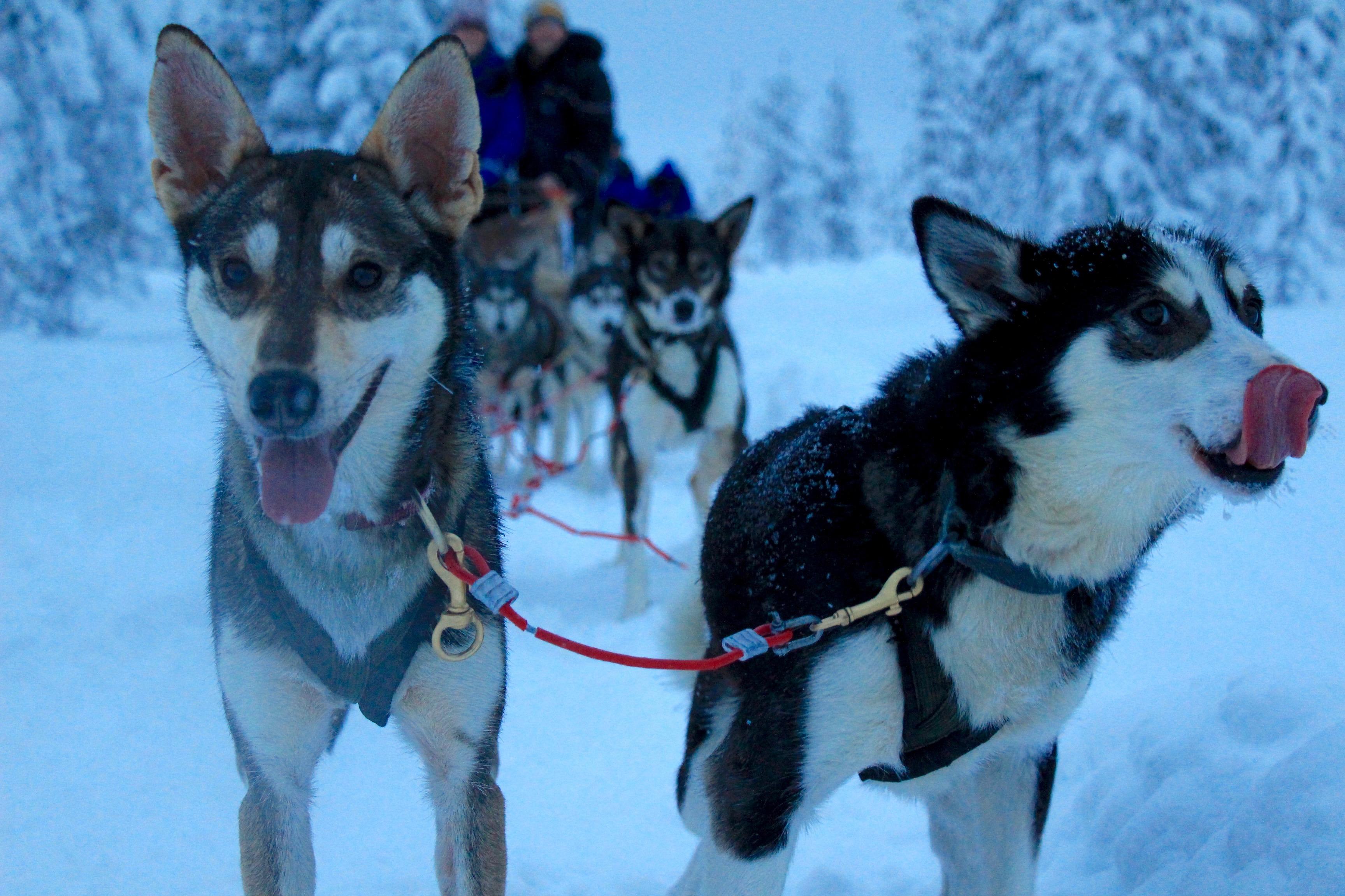 Husky Dog Sled Lapland Finland