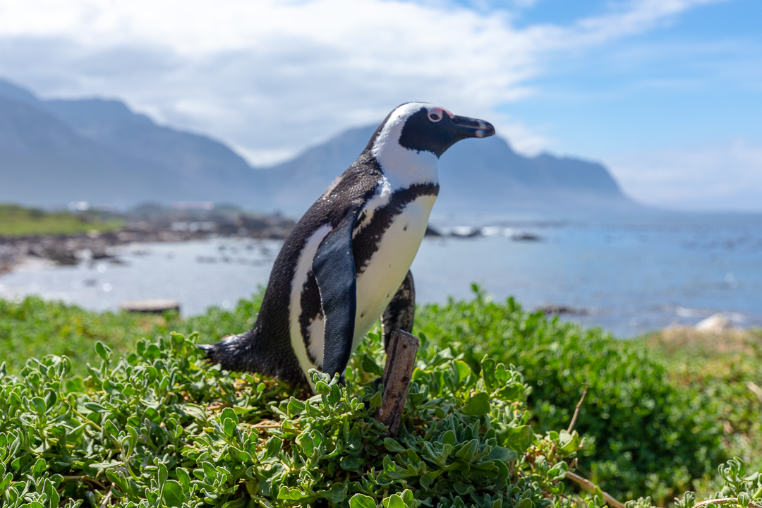 African Penguin Cape Town South Africa