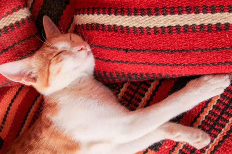 Cat Sleeping in Siwa Oasis Western Egypt