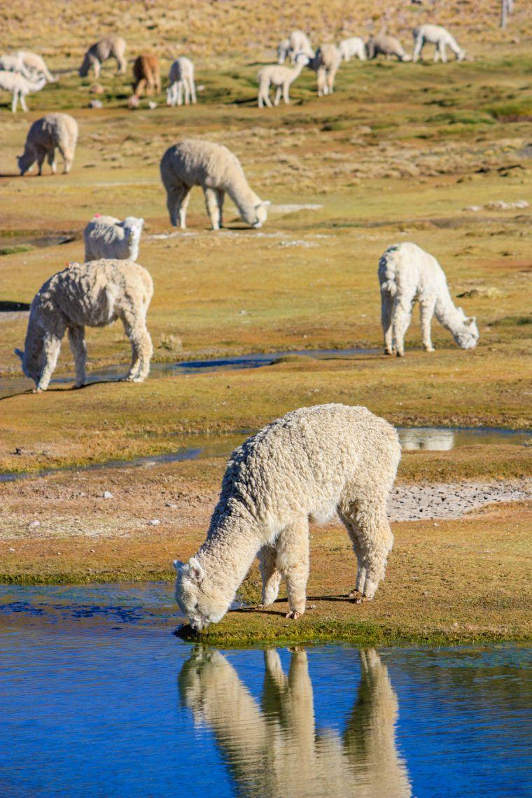 Wild Llamas Peru Bolivia
