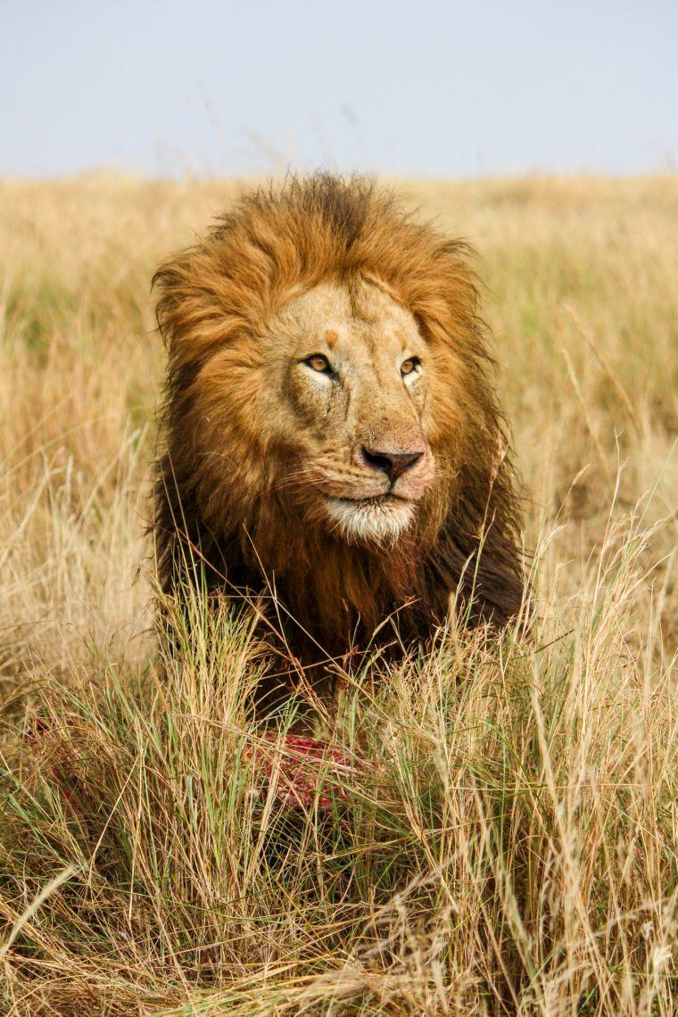 Male Lion African Wildlife Safari Kenya
