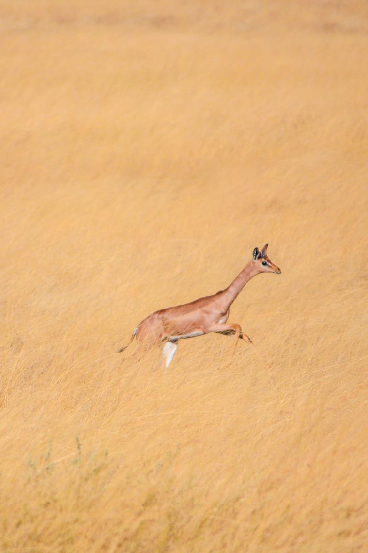 Leaping Antelope African Wildlife Safari Kenya