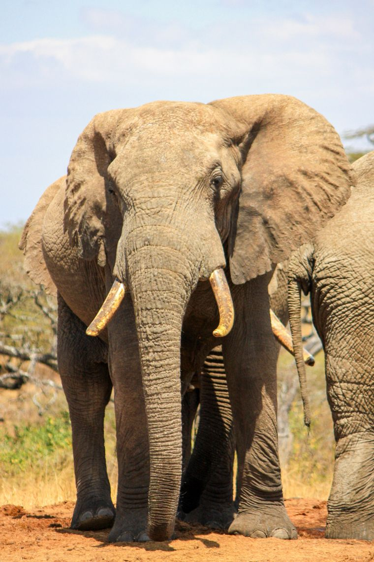 Elephant with Tusks African Wildlife Safari Kenya