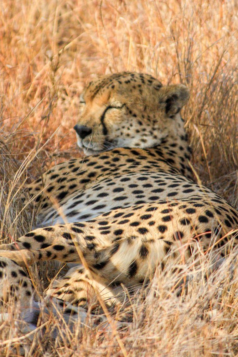 Sleeping Cheetah African Wildlife Safari Kenya