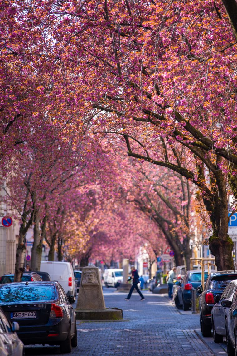Cherry Blossoms in Spring Bonn Germany