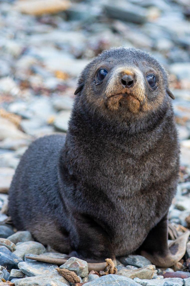 Fur Seal Pups South Georgia Island Antarctica