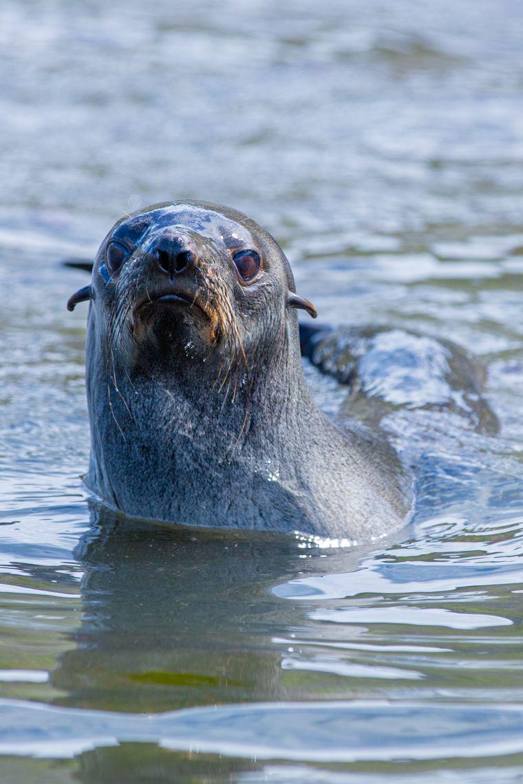 Fur Seal South Georgia Island Antarctica