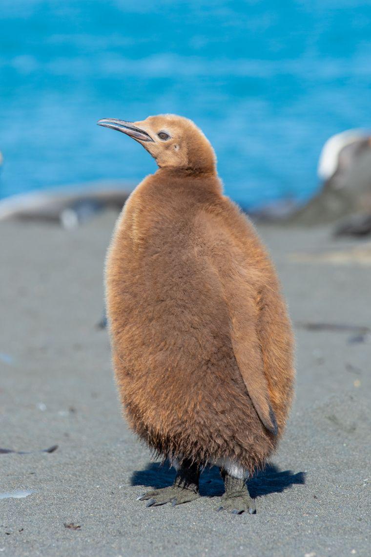 King Penguin Chicks South Georgia Island Antarctica