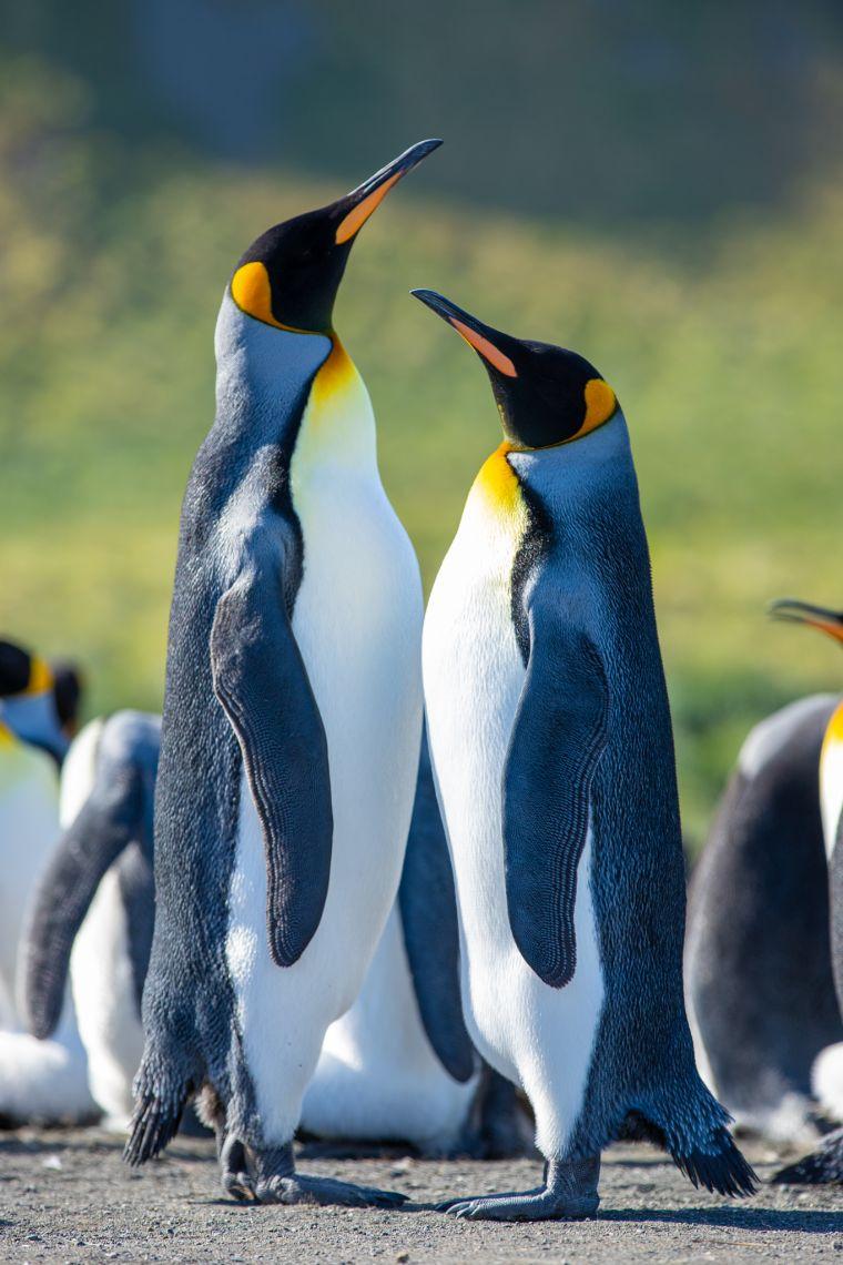 King Penguins South Georgia Island Antarctica