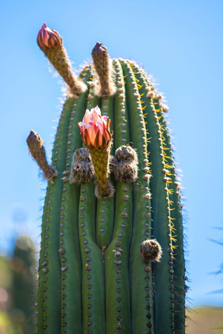 Flowering Cactus at Los Cardones National Park Argentina