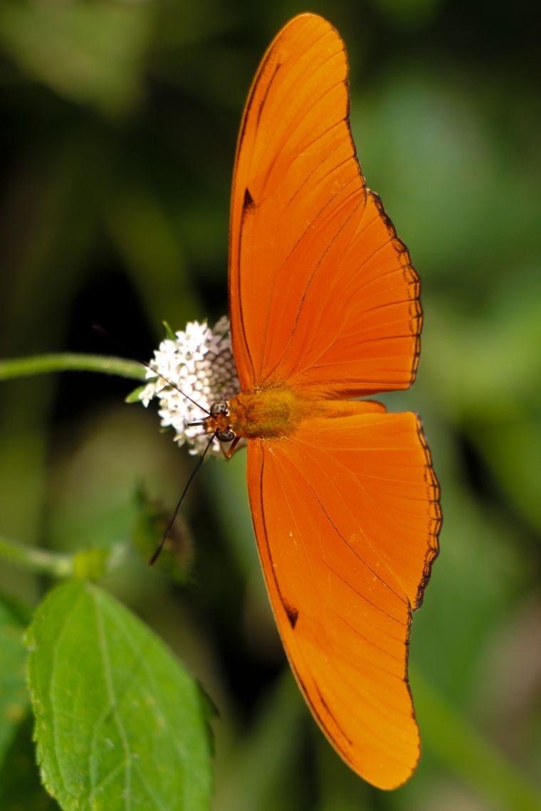 Orange Butterfly in Guatemala