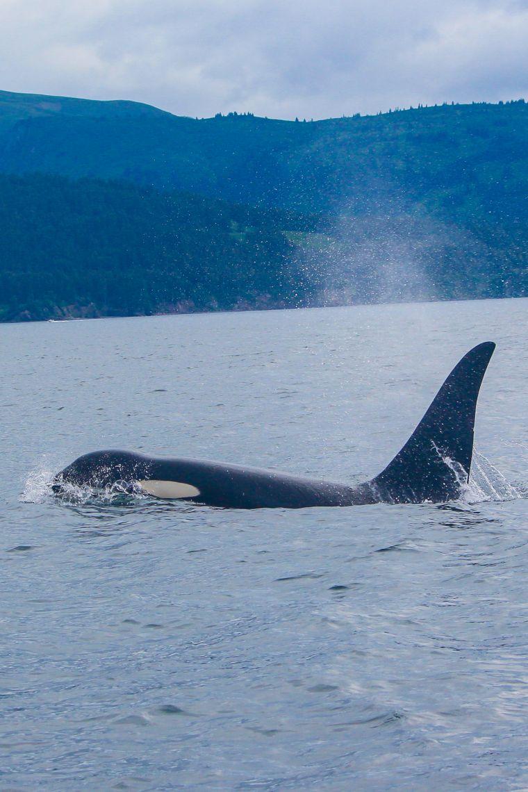 Orca Whale Swimming Alaska