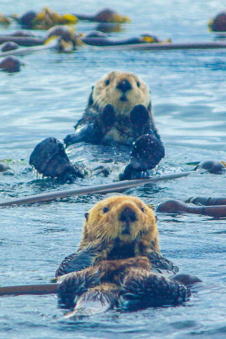 Sea Otters Swimming in Alaska