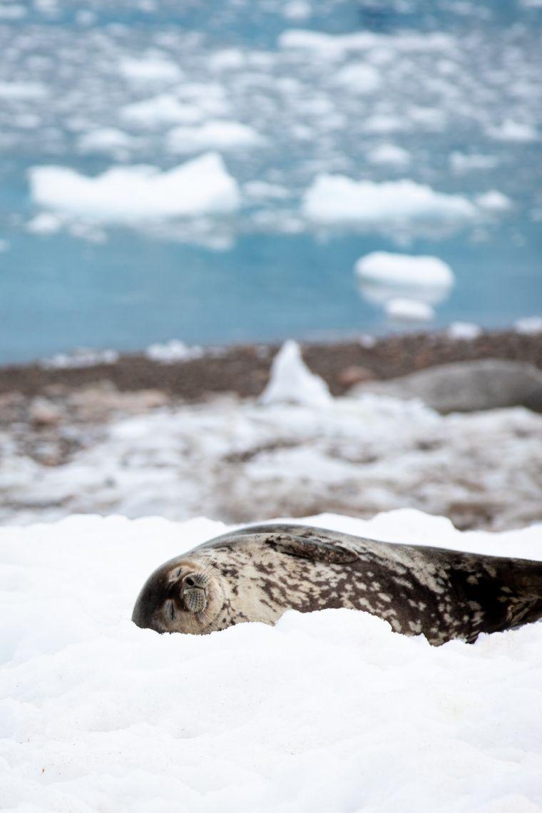 Sleeping Weddell Seal Antarctica