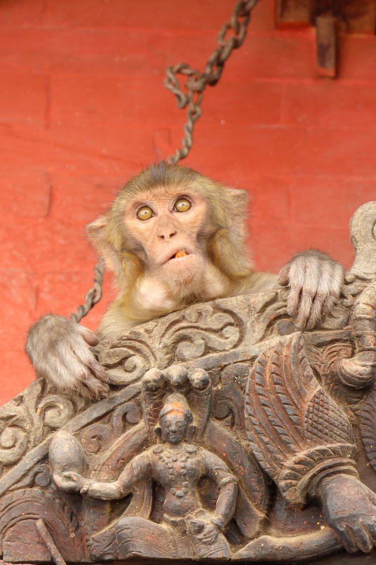 Wild Monkey in Nepal